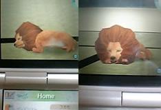 畳に寝るライオン